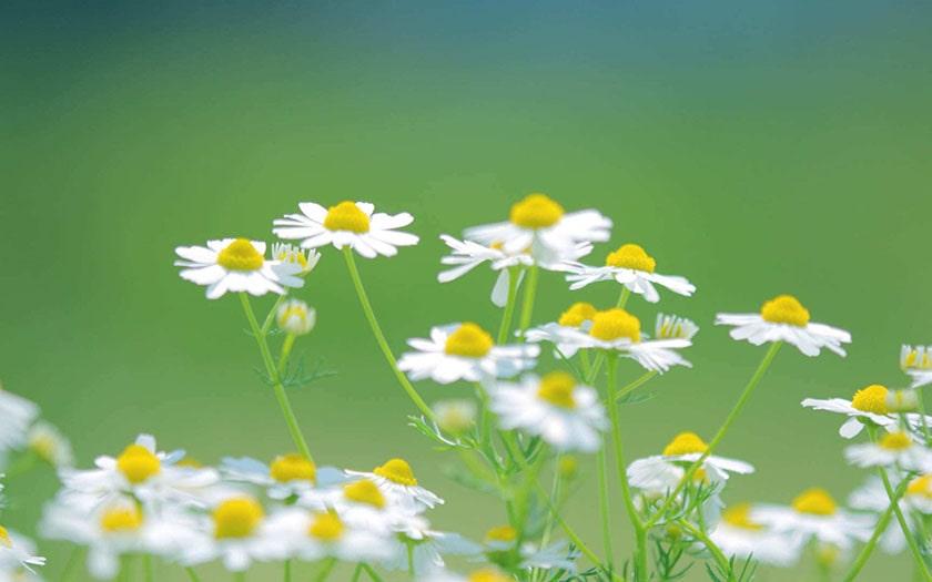 Hình nền máy tính đơn giản - bông hoa